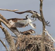 The Great Osprey Fight by AForns