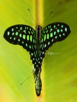 Love Wings by septle2