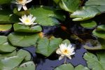Lilies of the Water 2 by XxQuothTheRavenxX
