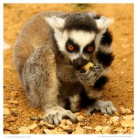 My Precious Baby Lemur by In-the-picture