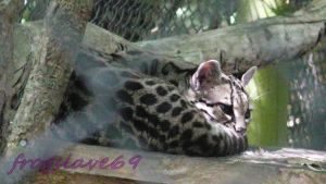 margay by frogslave69