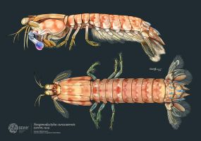 Dark mantis shrimp by albertoguerra