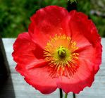 Pink Poppy by JocelyneR