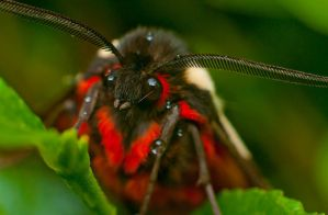 A red chested Moth by mprox