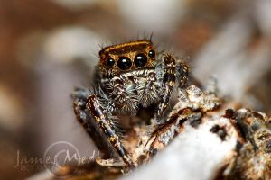 jumping spider 55 by JamesMedlin