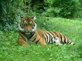 Sumatran tiger by Aewendil