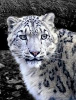 Snow Leopard by Ceridwens-gallery
