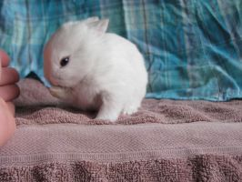 - baby rabbit day 16 white 2 by insane-whiskey