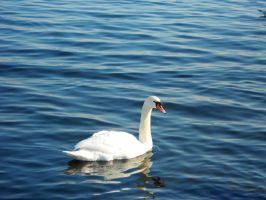 Lake Zurich: Swan by Tabascofanatikerin