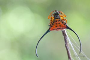 Gasteracantha Arcuata (Curved Spiny Spider) by melvynyeo