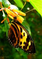 Common Tiger Glassywing by HorselessHerder