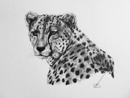 Cheetah by salt25