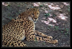 Cheetah in Shade by robbobert