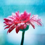 Pearls on Petals by arefin03