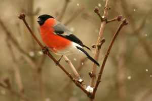 Eurasian Bullfinch... by EricReynolds