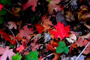 More Fall Leaves by greenwalled1