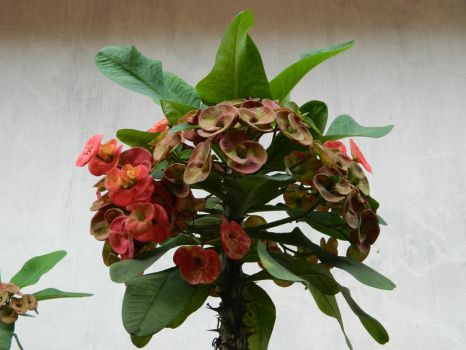 Crown Of Thorns Plant (Euphorbia milii) by ngasih