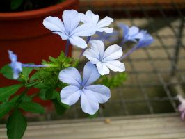 Blue flower by Dinopeal