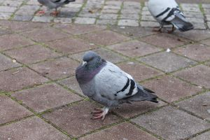 pigeon by silks4ever