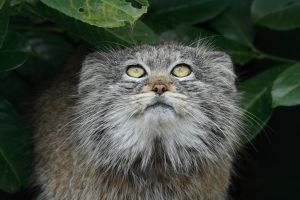 pallas cat by surlycat