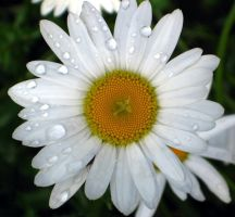 White Daisy w rain drops by sidneyj06