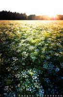Flowerfield by KasperGustavsson