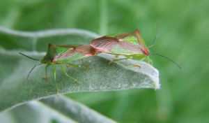 Shield bug Love. by beortheold