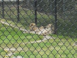 Cheetahs chillin by convict123