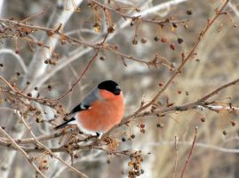 Bullfinch_2 by Ksantor
