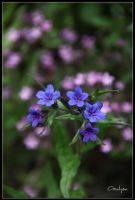 Blue flowers by oxalysa