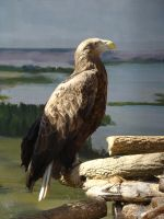 Stock 367: eagle by AlzirrSwanheartStock