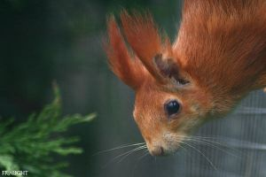 Red Squirrel by fraughtuk