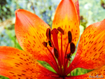 Tiger Lily by RaisedFists