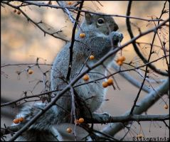 Squirrelberries by SilkenWinds