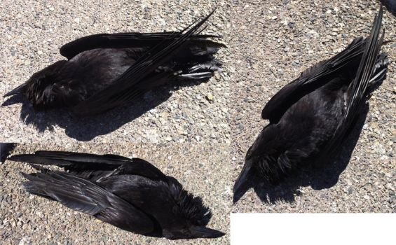 Free Unrestricted Dead Raven Stock by tursiart