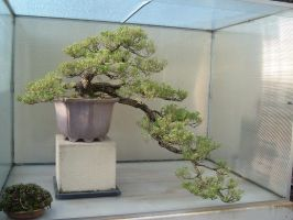 Bonsai 022 by aurochstock