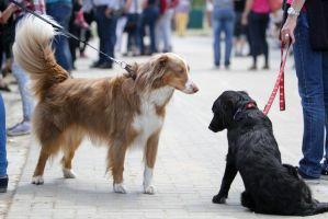 Australian Sheperd and Labrador Greeting by LuDa-Stock