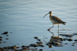 Long-billed Curlew by thevictor2225