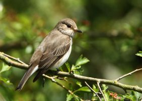 Spotted Flycatcher by Albi748