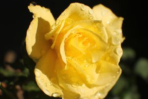 Yellow Rose by Darklordd