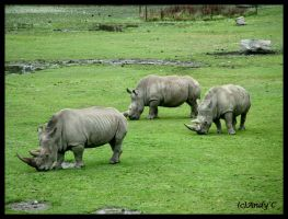 Rhinos by 2Stupid2Duck