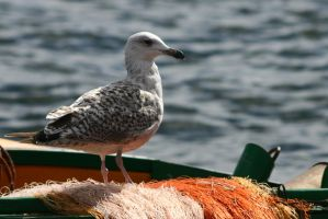 Sea Gull by homik126