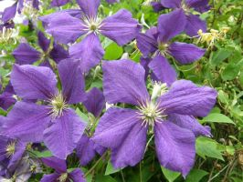 clematis 1 by maryllis-stock