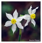 Narcissus by Stimulated-Detergent