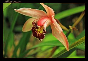 Orchid 11 by ShlomitMessica