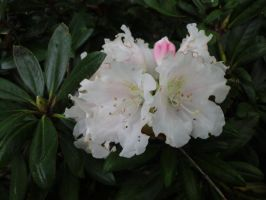 Rhododendron Loder's White by JollyStock