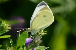 Butterfly 54 by Marina17