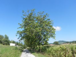 les douze noyers by angeloup