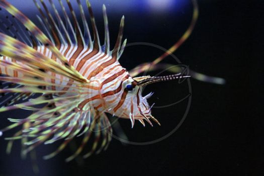 Juvenile lionfish by InsaneGelfling