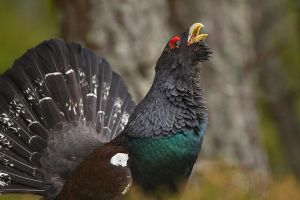 Call of the wild - Capercaillie by Jamie-MacArthur